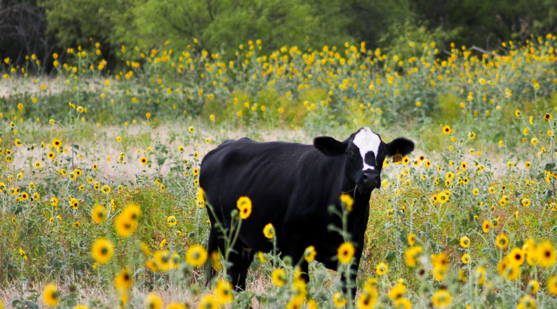 cow flowers