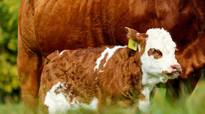 calf tag